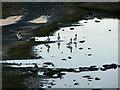 SH6214 : Shelduck near Fegla Fawr by liz dawson
