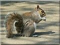 SU1583 : Grey squirrel, Town Gardens, Old Town, Swindon by Brian Robert Marshall