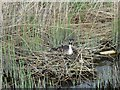 TG3917 : Great Crested Grebe on nest , Womack Water by Nick Smith