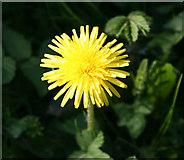 TF0626 : Dandelion, Taraxacum officinale by Kate Jewell
