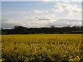 NZ3626 : The trees of Neasless Covert beyond a field of oilseed rape. by Carol Rose