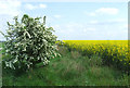 SO7798 : Rape and Hawthorn Blossom, near Ackleton, Shropshire by Roger  Kidd