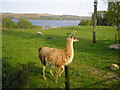 NS1884 : A Llama and a Sheep in a Paddock by Sandy Gemmill