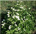 NJ5353 : Sweet Cicely (Myrrhis odorata) by Anne Burgess