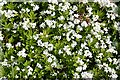 NJ5354 : Woodruff (Galium odoratum) by Anne Burgess