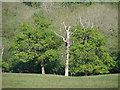 ST1181 : Dying tree by Ian Paterson