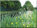 SO8785 : Yellow Flag and Rushes by the Stourbridge Canal, Staffordshire by Roger  Kidd