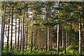 SU2917 : Pines on the western edge of Foxbury Plantation by Jim Champion
