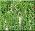 SO6825 : Carpet of wild flowers, Gorsley churchyard by Pauline E