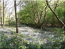 SE1323 : Bluebells off Wetshod Lane, Brighouse by Humphrey Bolton