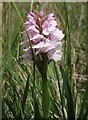 NO2575 : Heath Spotted Orchid, Corrie Fee. by Gwen and James Anderson