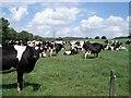 SO9071 : Dairy herd at Pool House Farm by Trevor Rickard