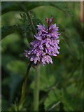 SY3699 : Common spotted orchid by Derek Harper