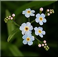 NJ5851 : Water Forget-Me-Not (Myosotis scorpioides) by Anne Burgess