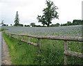 SO5620 : Borage (starflower) crop, near Goodrich by Pauline E
