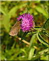 SP3620 : Ringlet Butterfly on a flower by Linda Bailey