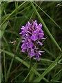 SS4801 : Southern Marsh Orchid by Derek Harper