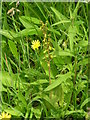 NY9028 : Twayblade orchid. by Robin Madge