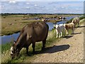 SZ3292 : Cattle on the sea wall, Pennington Marshes by Jim Champion