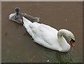 SO5924 : Swan with cygnet on flooded fields near the Wye by Pauline E