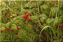 NH8480 : Raspberries by Steven Brown