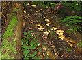 SO6223 : Fungus and moss on logpile, Penyard by Pauline E