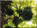 SO6911 : Mistletoe in acacia tree by Pauline E