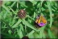 SH4442 : Pili-pala ar bencaled - Butterfly on knapweed by Alan Fryer