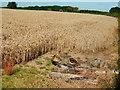 SK7376 : Field of wheat by John Poyser