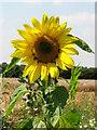 TG3225 : Sunflower by Evelyn Simak