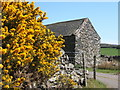 SD1783 : Barn near gorse in full bloom by Andrew Hill