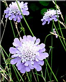 NO5735 : Scabious by Gwen and James Anderson
