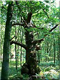 SU2265 : Queen Oak, Savernake Forest by Brian Robert Marshall
