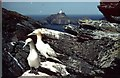 HP5917 : Gannets on Clingra Stack by Mike Pennington