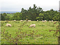 NY5474 : Sheep grazing above Steppings Farm by Oliver Dixon