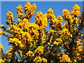 SD1783 : Gorse in full bloom by Andrew Hill