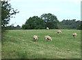 SJ9068 : Sheep Grazing near Cowley, Cheshire by Roger  Kidd