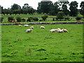 NY1435 : Sheep by Alexander P Kapp