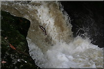 NN9328 : Salmon leaping at Buchanty Spout by Brian Gall