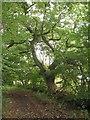 TL6398 : Carpet of acorns by Alison Rawson