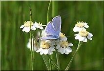 NT4681 : Common Blue (Polyommatus icarus) on Sneezewort (Achillea ptarmica), Aberlady by Mike Pennington