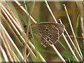 NT4680 : Ringlet (Aphantopus hyperantus), Aberlady by Mike Pennington