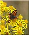 NT4581 : Small Copper (Lycaena phlaeas) on Common Ragwort (Senecio jacobaea), Aberlady Bay by Mike Pennington