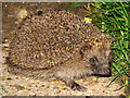 TG2425 : The Hedgehog  (Erinaceus europaeus) - a nocturnal forager by Evelyn Simak