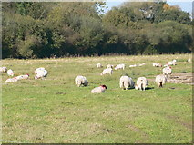 SJ4925 : Sheep grazing near Bilmarsh by Eirian Evans