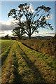 SO8334 : Oak trees near Robertsend by Philip Halling