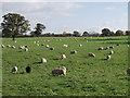 SJ5033 : Spot the black sheep by John Haynes