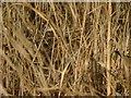 SU5302 : Jack Snipe (Lymnocryptes minima) by Hugh Venables