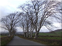 C1315 : Beeches by the road to Church Hill by Jonathan Billinger
