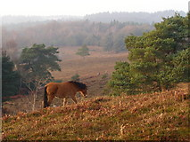 SU2609 : Pony on the move, Acres Down, New Forest by Jim Champion